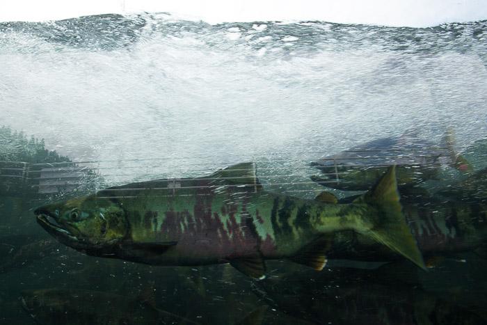 02-Gibaud-Transam-Photography-USA-Alaska-Juneau-salmon