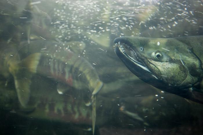 03-Gibaud-Transam-Photography-USA-Alaska-Juneau-salmon